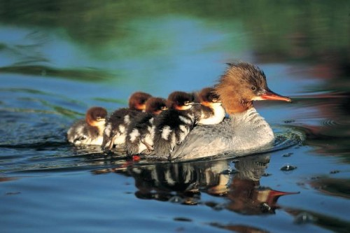baby ducks ride on mom