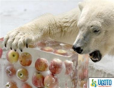 polar bear wants frozen apples