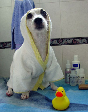 dog in bath robe