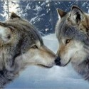 Kissing Wolves icon