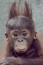 monkey with crazy hair